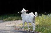 мало коза — Стоковое фото