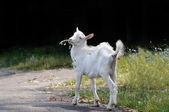 Little goat — Stock Photo