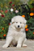 Beautiful white puppy portrait — Stockfoto