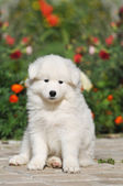 Lovely puppy portrait — Stock Photo