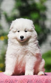 Cute white puppy portrait — Stock Photo