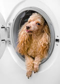 Washing machine and dog in clothes (delicate wash — Stock Photo