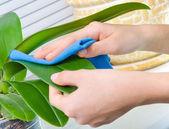 植物ぬれたスポンジで洗浄手します。 — ストック写真