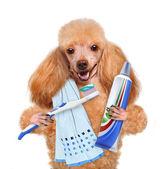Brushing teeth dog — Stock Photo
