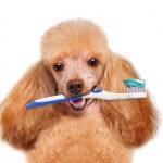 Brushing teeth dog — Stock Photo #40748973