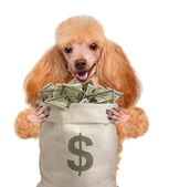 Money dog holding. — Stock Photo