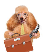 Business dog — Stock Photo