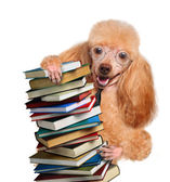 Dog behind a tall stack of books — Stock Photo