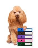 Hond met mappen voor documenten — Stockfoto
