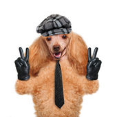 Dog with peace fingers in black leather gloves — Stock Photo