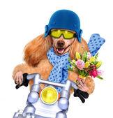 Motorka pes — Stock fotografie