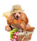 Dog with Picnic basket — Foto Stock