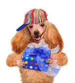 Dog with gift box — Stock Photo