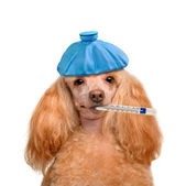 Sick dog. — Stock Photo