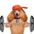 Fitness dog lifting a heavy big dumbbell — Stock Photo #45193365