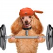 Fitness dog lifting a heavy big dumbbell — Stock Photo