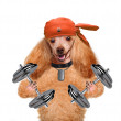Personal trainer dog with dumbbells and a whistle — Stock Photo #45193491