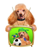 Dog playing football. — Stock Photo