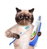 Brushing teeth cat. — Stock Photo