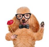 Hipster dog — Stok fotoğraf