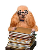 Crazy silly dog behind a tall stack of books — Stock Photo