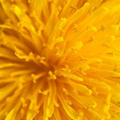 Close-up of dandelion flower — Stock Photo