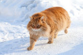 Red cat on the white snow — Stock Photo