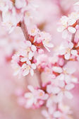 Almond flowers — Stock Photo