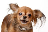 Toy terrier — Stock Photo