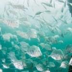 Atlantic Ocean Species of Fish — Stock Photo #28302063