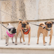 Three little dogs in a row — Stock Photo #28401157