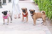 Trois petits chiens dans une rangée — Photo