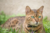 Bengal cat with very green eyes — Stock Photo