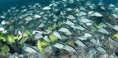 Um grupo misto de grunhidos no recife — Foto Stock