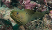 Close up green Moray Eel — Stok fotoğraf