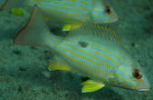 Lane Snapper fish close up — Foto Stock