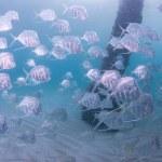 Atlantic Ocean Species of Fish — Stock Photo #28531891