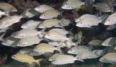 An Atlantic ocean species of marine animal. — Stock Photo