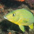 Blue striped grunt on a reef — Stock Photo
