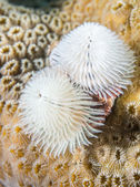 White Christmas Tree worm with coral background. — Stock Photo