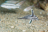 Juvenile High Hat Fish swimming over sand. — Stockfoto