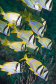 Small school of porkfish swimming. — Stock Photo