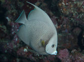 Juvenile Gray Angel Fish on a reef. — Foto Stock
