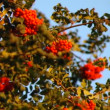 Mountain ash berries by the end of summer ( Sórbus ) ashberry . — Stock Video