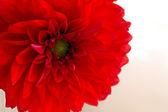 菊花红色的花朵 — 图库照片