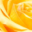 Extreme close up of a yellow rose — Stock Photo #6025941