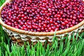 Cranberries frescos — Foto Stock