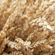 Bunch of wheat — Stockfoto