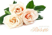 Bouquet of beautiful white roses — Stock Photo