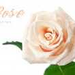 Photo: Beautiful rose isolated on white background